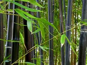 Bambou A Planter : des bambous noirs au jardin hanbury asiemut e ~ Premium-room.com Idées de Décoration