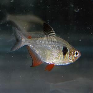 """Hyphessobrycon megalopterus """"Black Phantom Tetra"""" – Shop ..."""