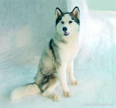 non shedding husky cross siberian husky jpg