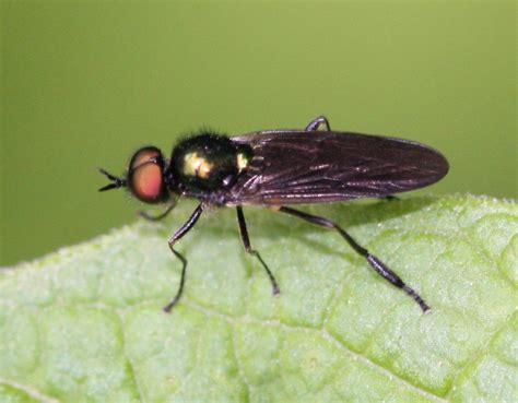 Long-horned Black Legionnaire