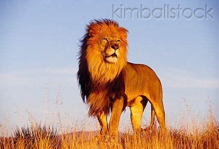 lns  rk  full body shot  male lion standing