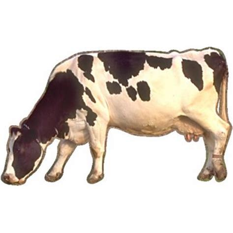 Definition Of Cowhide by Cow Meaning Of Cow In Longman Dictionary Of Contemporary