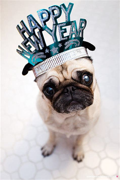 happy  year pug pictures   images  facebook tumblr pinterest  twitter
