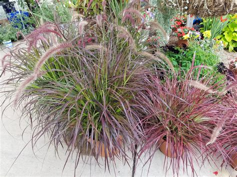 annual grasses for containers 2016 newsletter 25 hot summer savings america s best flowers