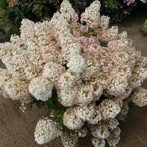 Hydrangea Paniculata Bobo : hydrangea paniculata 39 bobo 39 big plant nursery ~ Michelbontemps.com Haus und Dekorationen