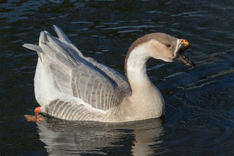 This cob mute swan would not tolerate these greylag geese. Swan Goose (Domesticated) | Swan Goose (Anser cygnoides ...