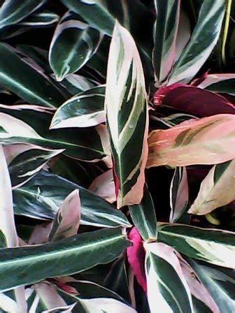 sentra tanaman hias graha raya bintaro aneka tanaman merante