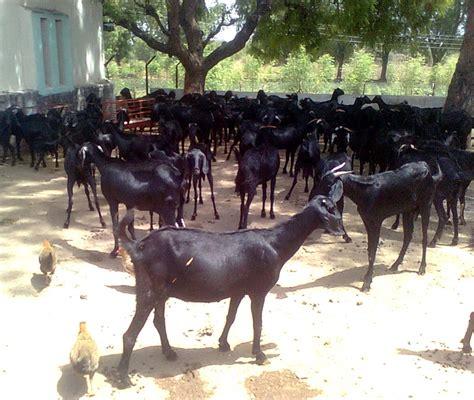 raising goats  profit modern farming methods