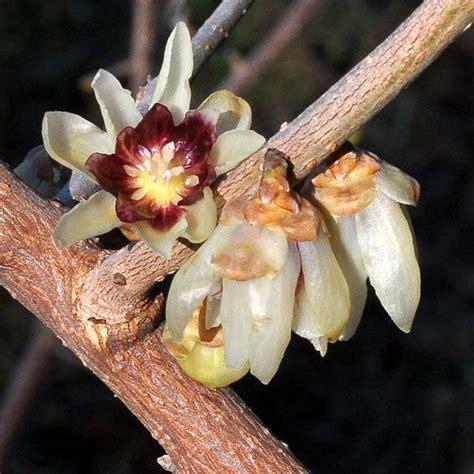 fiore calicanto fiori di calicanto fiori e foglie