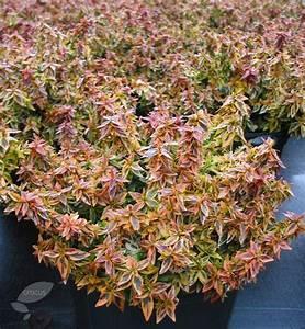 Abelia Grandiflora Kaleidoscope : abelia grandiflora 39 kaleidoscope 39 pbr landscaping ~ Melissatoandfro.com Idées de Décoration