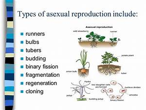 Types Of Asexual Reproduction  Binary Fission  Budding