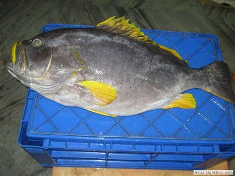 grouper yellow fin