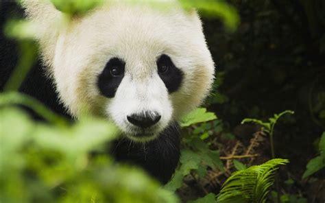 Panda Iphone Wallpaper (82+ Images