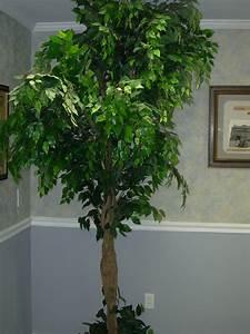 Ficus Benjamini Vermehren : file starr 031108 0243 ficus ~ Lizthompson.info Haus und Dekorationen