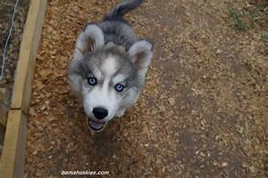 Grey Husky Puppy | www.imgkid.com - The Image Kid Has It!