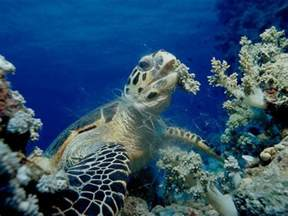 Hawksbill Sea Turtle Eating
