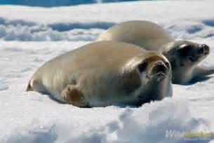 Animal Antarctica Wildlife
