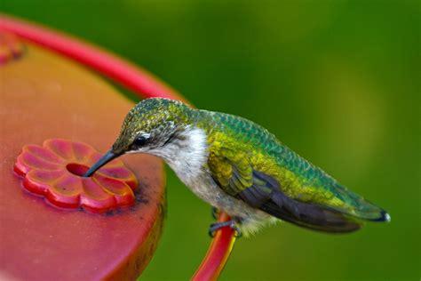 photos by david douglas hummingbirds