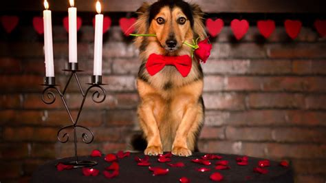 full hd wallpaper dog gentleman rose romantic dinner