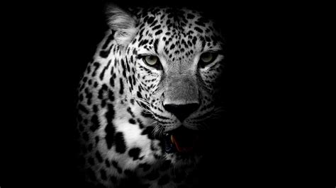 Animal Black And White Wallpaper - wallpaper leopard background hd 4k animals 8559