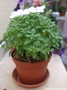 Pied De Menthe : herbes aromatiques d couvrez les plus courantes ~ Melissatoandfro.com Idées de Décoration