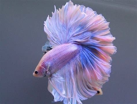 types  betta fish  beautiful pictures