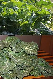 Planting And Growing Guide For Borekale  Also Known As
