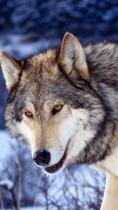 Wolf Iphone Animal Wallpapers Face Backgrounds Wiki