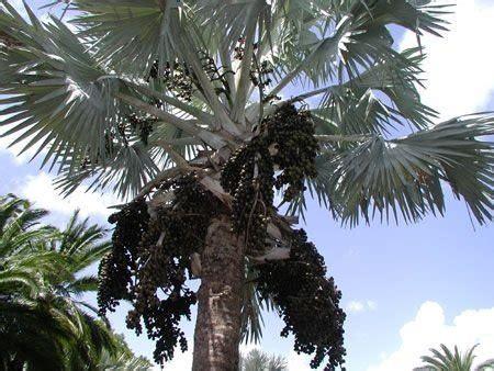 Sementes de Palmeira Azul - Bismarckia Nobilis - Jardim ...