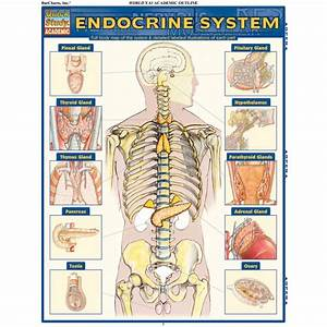 Endocrine System   Quickstudy Laminated Anatomy Reference