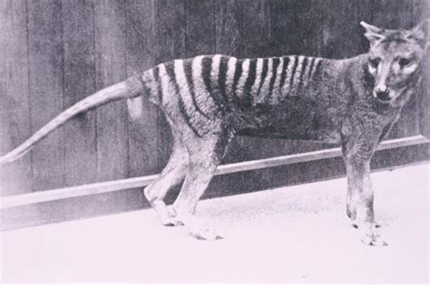 australia tasmanian tiger sighting proves    extinct