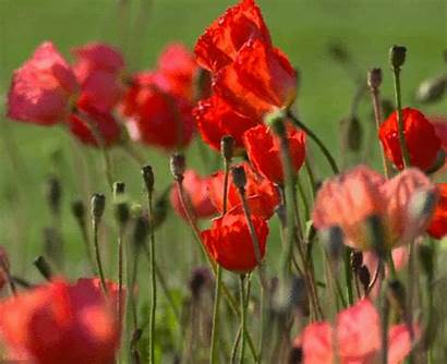 Poppies Animated Gifs Flowers Plants Gifmania
