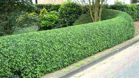 privet hedge privet hedges for sale 1 89 each at tn online plant nursery youtube