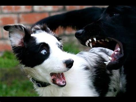 perros chistosos  tiernos  minutos  perros