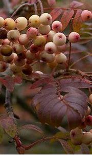 Sorbus cf 'Pink Pearl' (Rosaceae)   Sorbus cf 'Pink Pearl ...