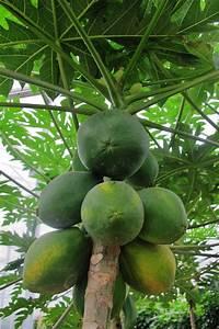Tropische Pflanzen Kaufen : carica papaya pflanze baum gro kaufen frei haus shop ~ Watch28wear.com Haus und Dekorationen