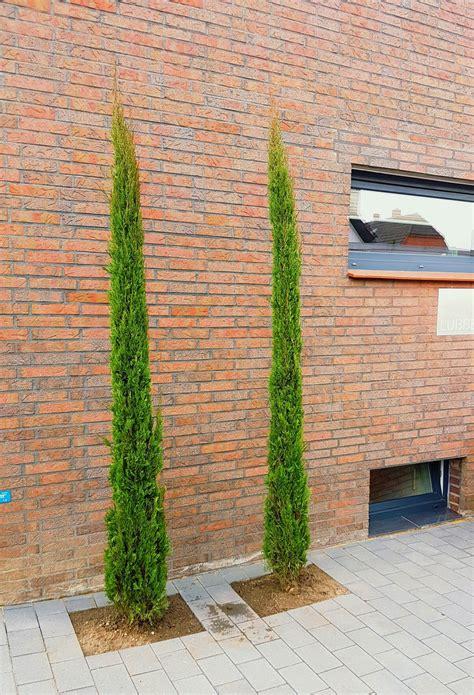 Zypresse Garage by Mittelmeer Zypressen Garten Garten Ideen