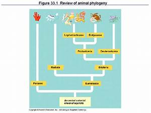 Figure 33 1 Review Of Animal Phylogeny