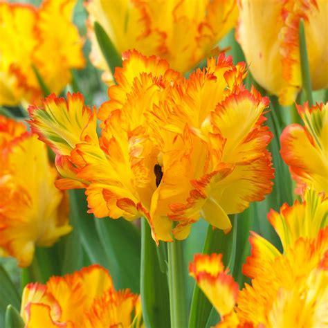 van zyverden tulips bulbs caribbean parrot set