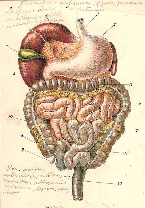 gastrointestinal tract aparelho digestivo  photo
