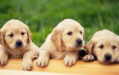 Lab Puppy Yellow Chocolate