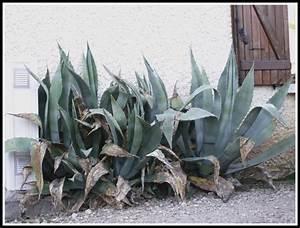 Mimosa Résistant Au Froid : le forum des fous de palmiers r sistance au froid du genre agave ~ Melissatoandfro.com Idées de Décoration