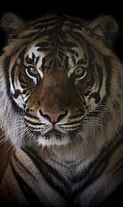 Save the Tiger | Do you even need a reason to save the ...