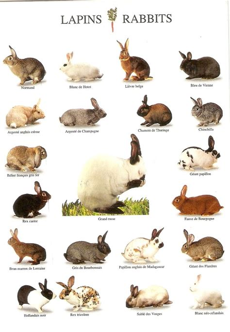 rabbit breeds a chart of some rabbit breeds rabbit breeds pinterest different types of a bunny and charts