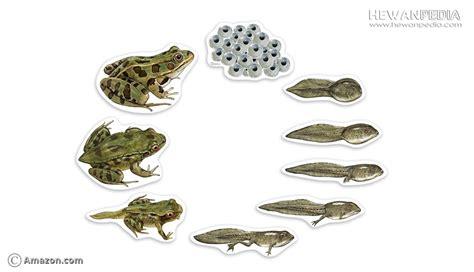 tahapan metamorfosis  siklus hidup katak hewanpedia