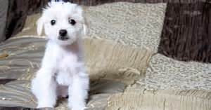 top 10 hypoallergenic small dogs dogtime