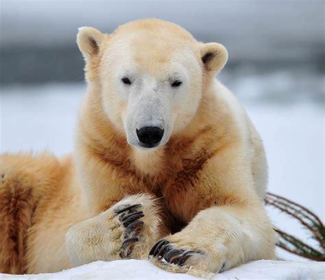 oso polar wiki reino animalia fandom powered  wikia