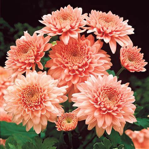 Garten Chrysantheme Kaufen by Garten Chrysanthemen Shippi Apricot Kaufen Bei