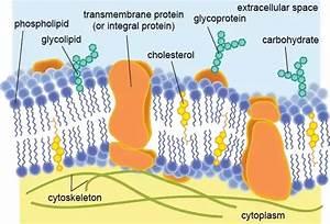 Is Plasma Membrane The Same As Phospholipid Bilayer