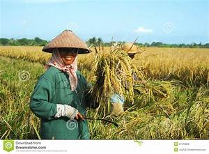 Rice Field Worker Editorial Stock Image - Image: 21313809